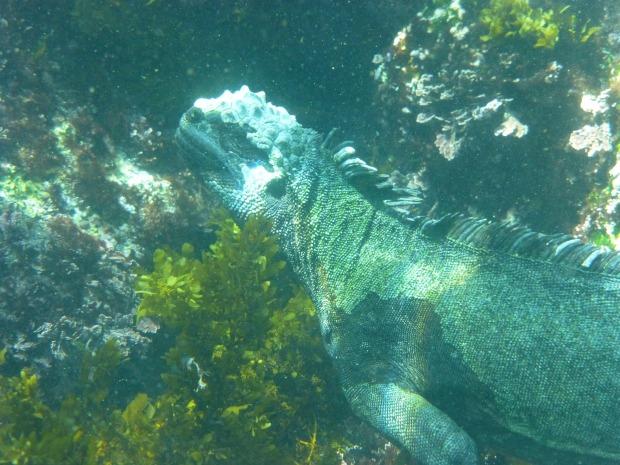 marine-iguana-883489_1920